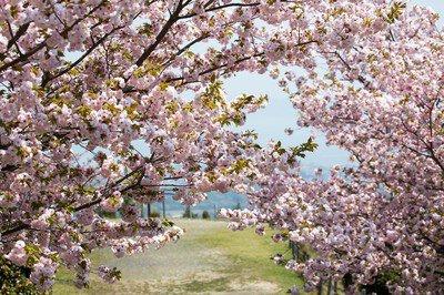 【拝観休止】奥比叡・延暦寺境内の桜