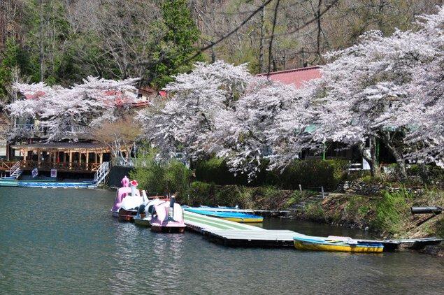 【桜・見ごろ】四尾連湖