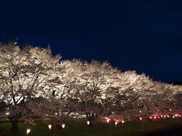 【桜・見ごろ】志路原川沿い