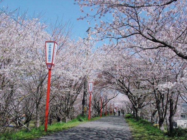 宮川堤の桜のライトアップ
