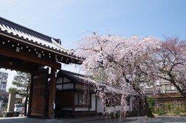 どこよりも早く咲き始める聖護院のしだれ桜