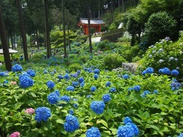 現地講座 まさに圧巻!2万株のアジサイが咲き誇る三室戸寺へ!