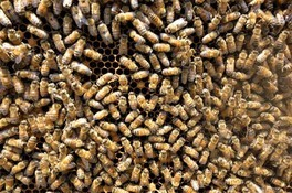 ミツバチの内検・採蜜体験会
