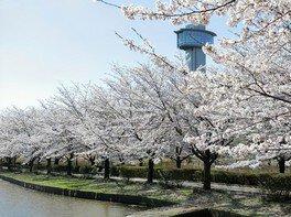古代蓮の里の桜