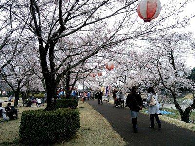 東雲公園の桜