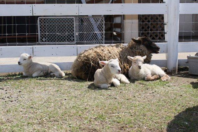 ソレイユの丘で仔羊が誕生