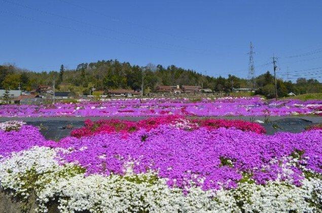 【花・見ごろ】本地(別所)の芝桜