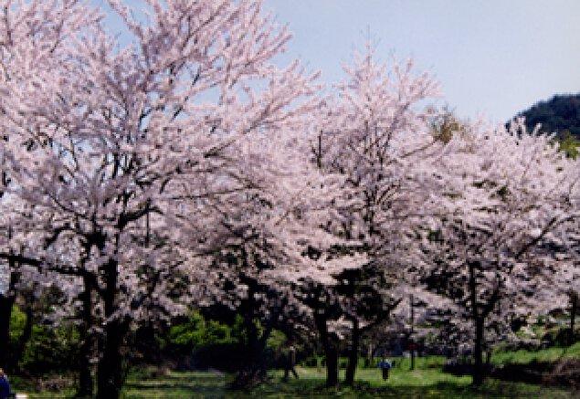 【桜・見ごろ】常山