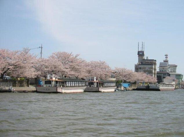 【桜・見ごろ】前川沿いの桜並木