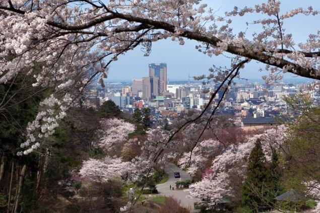 【桜・見ごろ】卯辰山公園