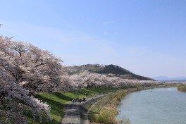 柴田町船岡城址公園の桜