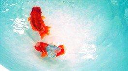 大人も楽しめる金魚まつり vol.2 高級金魚すくい