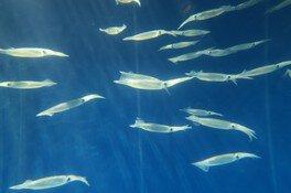 スルメイカの群泳展示