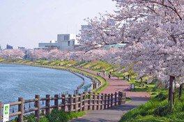 墨田区立旧中川水辺公園の桜