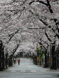 桜の径・噴水公園の桜