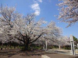 武蔵野公園の桜