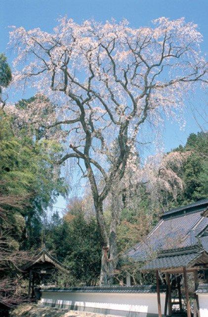 【桜・見ごろ】大楽寺のしだれ桜