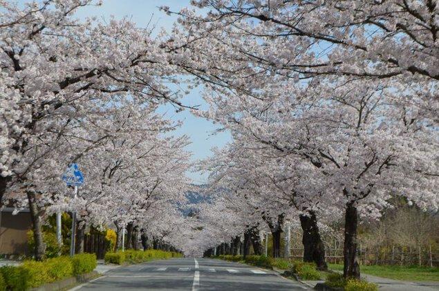 長瀞桜まつり2019