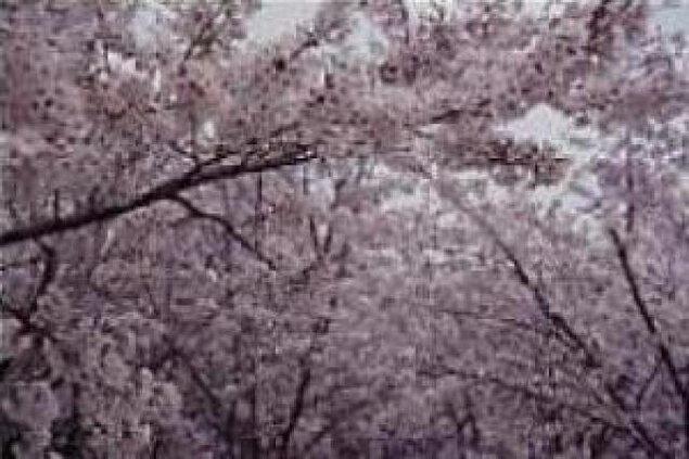 【桜・見ごろ】蛇ケ谷公園