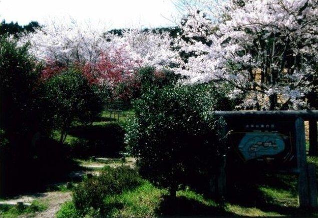 【桜・見ごろ】古城山