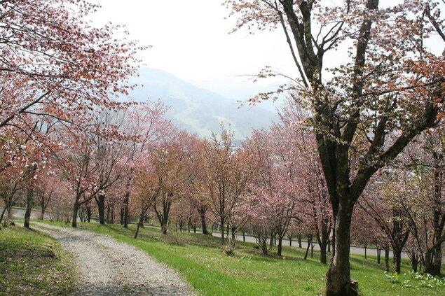 神楽岡公園の桜
