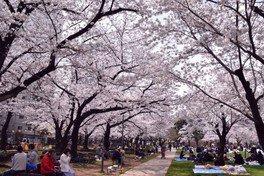 墨田区立錦糸公園の桜