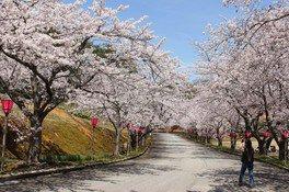 能登町柳田植物公園の桜