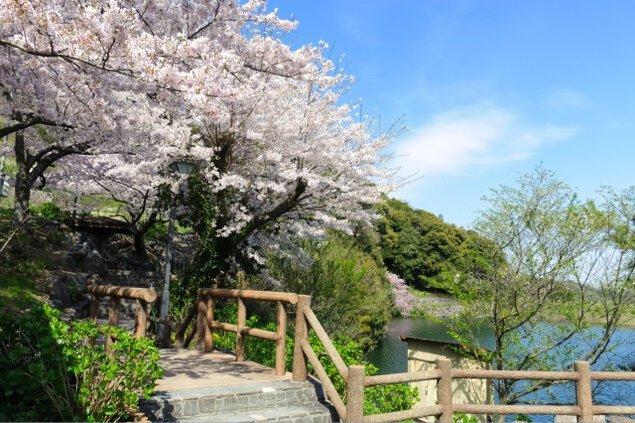 【桜・見ごろ】形原温泉