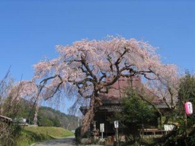 【桜・見ごろ】西光寺の城之山桜