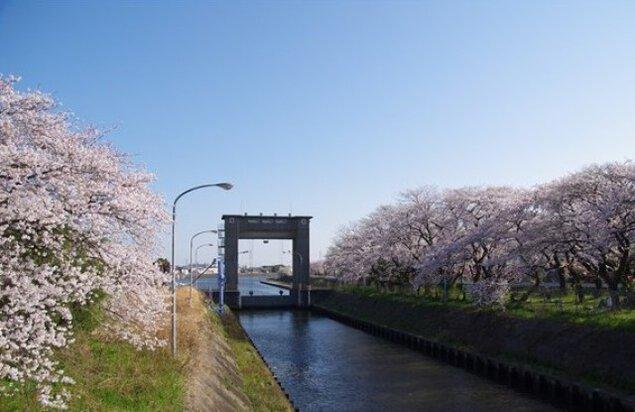 【桜・見ごろ】江戸川水閘門