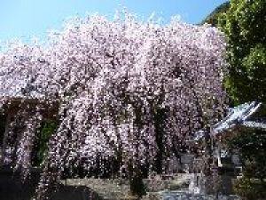 【桜・見ごろ】實相院 妙法しだれ桜
