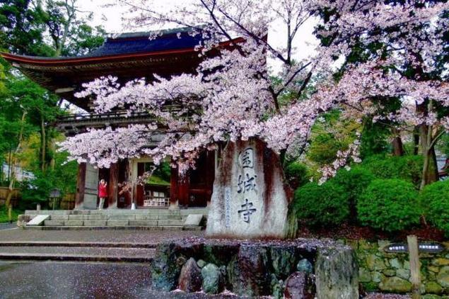 【桜・見ごろ】三井寺(園城寺)