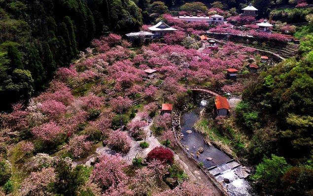 不動尊一心寺の桜