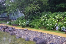 【あじさい・見ごろ】国営武蔵丘陵森林公園