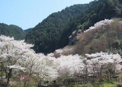 鐘ヶ坂公園の桜