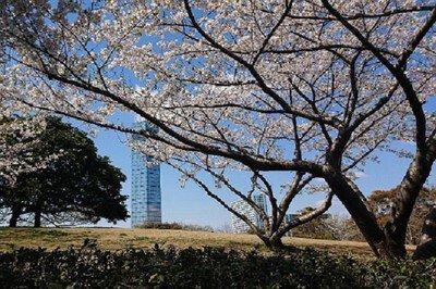 千葉ポートパークの桜