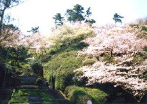 【桜・見ごろ】下田公園