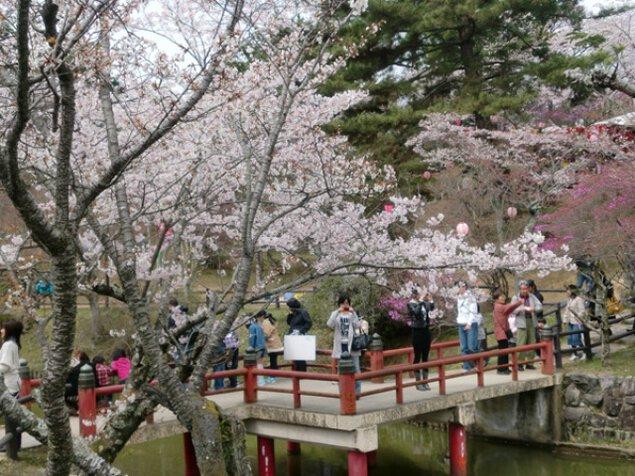 【桜・見ごろ】津偕楽公園