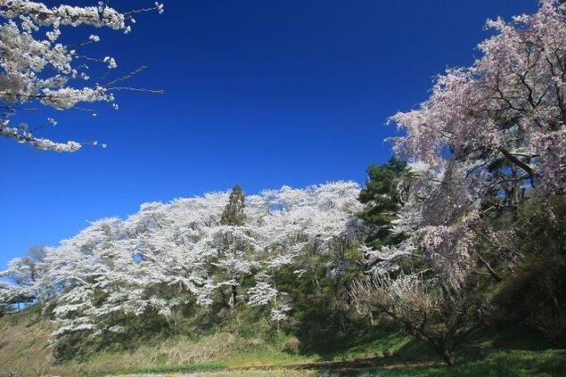 【桜・見ごろ】長沼城址