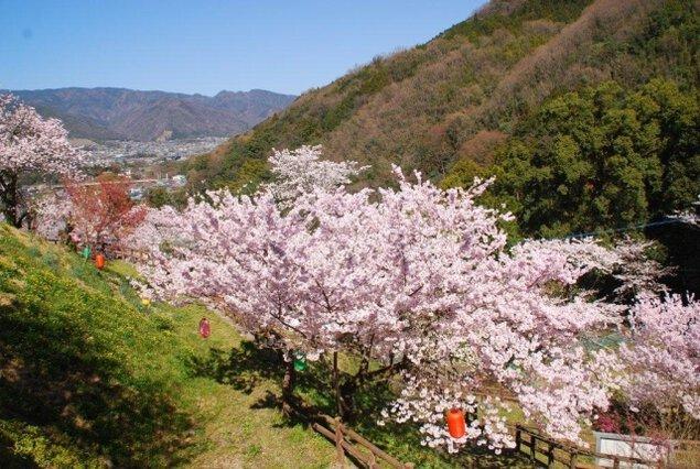 【桜・見ごろ】金竜山