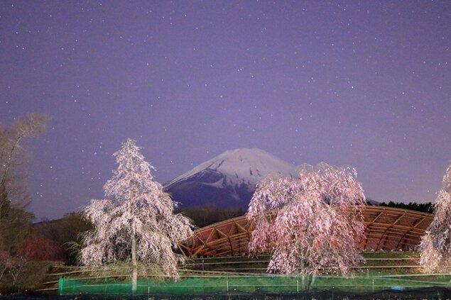 【桜・見ごろ】富士山樹空の森