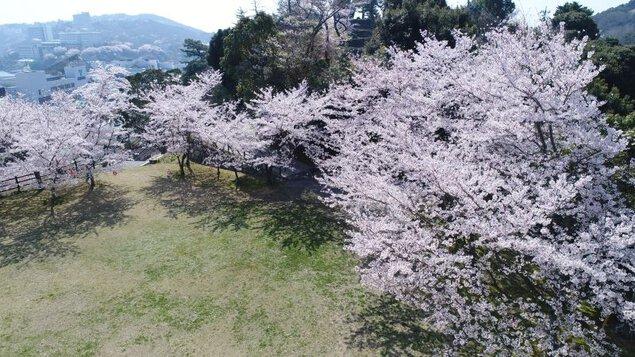 鳥羽城跡 城山公園の桜