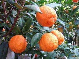 柑橘 実つきフェア