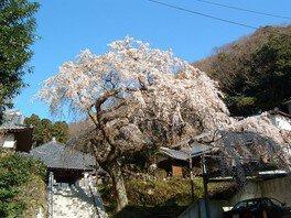 等覚寺の桜