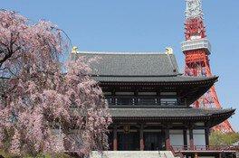 大本山 増上寺の桜