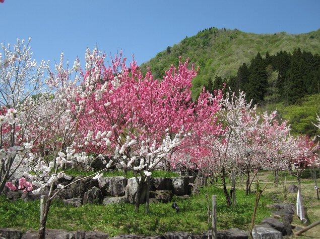 花桃まつり