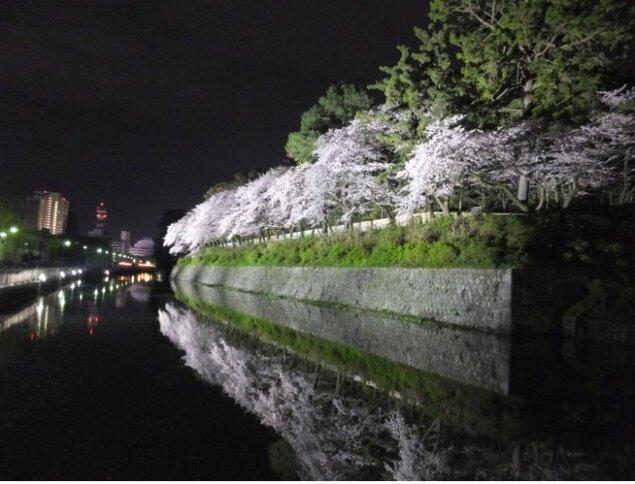 【桜・見ごろ】駿府城公園