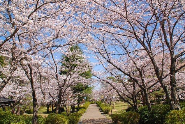 【桜・見ごろ】諏訪公園