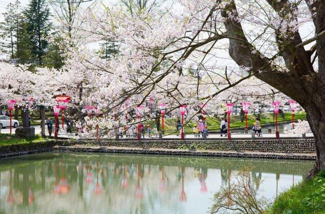 【桜・見ごろ】最上公園