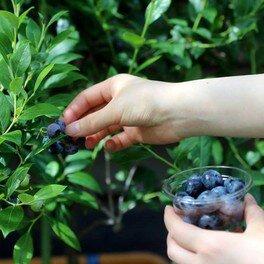 ブルーベリー狩り Blueberry Picking